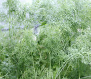Green leaves of fennel plants in the greenhouse Stock Image