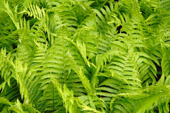 Green leaves of a fern Royalty Free Stock Image