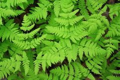 Green leaves of a fern Royalty Free Stock Images