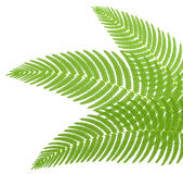 The green leaves of a fern. Illustration Royalty Free Illustration
