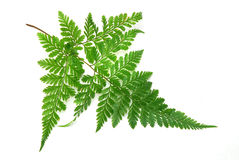 Green leaves of fern Royalty Free Stock Images