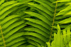 Green leaves of fern stock photography