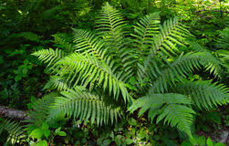 Green leaves fern Stock Photography