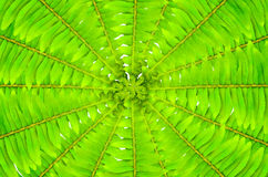 Green leaves of fern Royalty Free Stock Photo