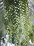 Green leaves fern on blurred of nature background. Closeup green leaves fern on blurred of nature background royalty free stock photography