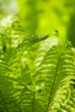 Green leaves of a fern Royalty Free Stock Photos
