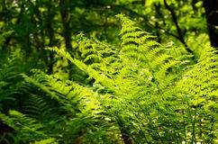 Green leaves of fern Stock Images