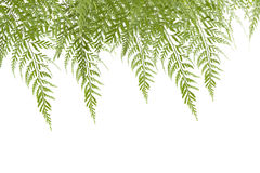 Green leaves of fern Stock Photo