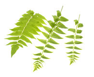 Green leaves of fern isolated on white Stock Images
