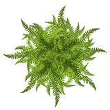 Green leaves of fern sun ornament symbol isolated on white Stock Photos