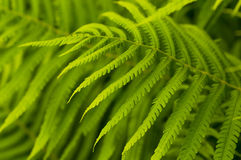 Green leaves of fern, tropical forest Stock Photography