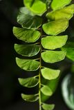Green leaves fern tropical rainforest foliage plant. Isolated on black background, Pokhara Nepal royalty free stock images