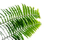 Green leaves fern tropical rainforest foliage plant nature leaf pattern isolated on white background, clipping path included.  stock photography