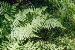 Green leaves of the fern under the summer sun. Fern illuminated by the bright summer sun Royalty Free Stock Photos