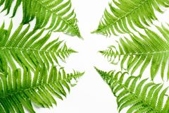 Green leaves of fern on white background. Top view, isolated with copy space. Green leaves of fern on white. Top view, isolated with copy space Stock Image