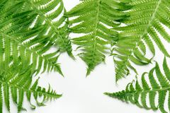 Green leaves of fern on white background. Top view, isolated with copy space. Green leaves of fern on white. Top view, isolated with copy space Royalty Free Stock Photos