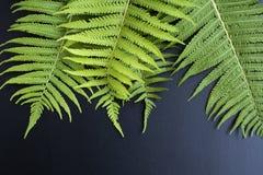 Green leaves of ferns on black background. Place for the inscrip. Green leaves of ferns black background. Place for the inscription royalty free stock image
