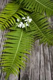 Green leaves of ferns and white flowers on a dark wooden backgro. Und Royalty Free Stock Photo