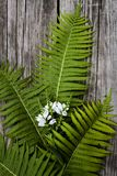 Green leaves of ferns and white flowers on a dark wooden backgro. Green leaves of ferns and white flowers on dark wooden background Royalty Free Stock Photos