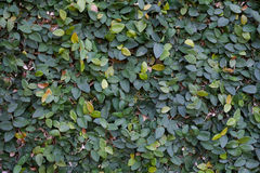 Green leaves Ficus pumila wall Royalty Free Stock Photography