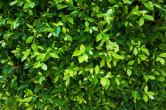 Green leaves of ficus on the tree Royalty Free Stock Images