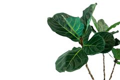 Green leaves of fiddle-leaf fig tree Ficus lyrata the popular ornamental tree tropical houseplant isolated on white background,. Clipping path included stock image