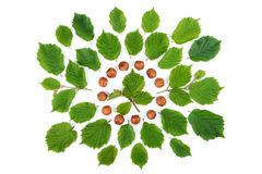 Green leaves with filbert nuts arranged in round shape on white. Royalty Free Stock Images