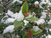 Blooming shrub viburnum tinus covered with snow. Green leaves and first flowers of viburnum in the snow stock images