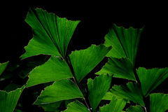 Green leaves of Fishtail Palm tree royalty free stock photo