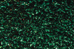 Green leaves. Flim look backgrand and texture Stock Photo
