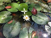 Green leaves and flower floating in the water stock image