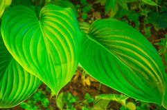 Green leaves of a flower in the jungle Stock Photos
