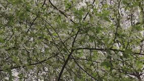 Green leaves and flowers hanging on a tree.  stock footage