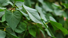 Green leaves fluttering on the wind. Big green leaves moving in a wind. stock video footage