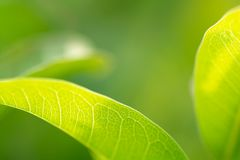 Green Leaves, foliage nature spring background blank for design.  royalty free stock photography