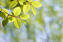 Green leaves in forest Royalty Free Stock Photography