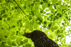 Green leaves, forest background Stock Images