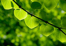 Green leaves in a forest in the sunlight Royalty Free Stock Photo