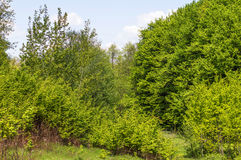 Green leaves of forest trees Royalty Free Stock Image