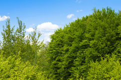 Green leaves of forest trees Royalty Free Stock Photography