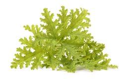 Green leaves of fragrant geranium Stock Image