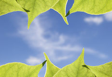 Green Leaves Frame. Green Leaves against the sky Stock Photo