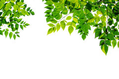 Green Leaves Frame Isolated On White Background. Royalty Free Stock Photo
