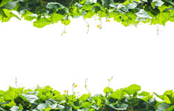 Green leaves frame  isolated on white background Stock Photos
