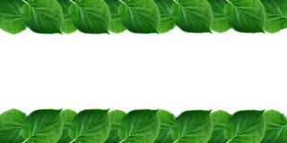 Green leaves frame isolated on white background Spring fresh foliage with free space for text Stock Images