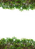 Green leaves frame on white background with place for text Royalty Free Stock Photos