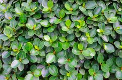 Green leaves. Fresh Green leaves background texture Stock Photo