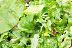 Green leaves in fresh italian lettuce appetizer. Close up Stock Photography