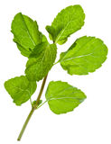Green leaves of fresh peppermint Stock Image