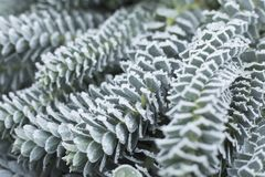 Green leaves in the frost. Unusual plant with winter precipitation. Waiting for winter royalty free stock image